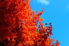 Rewolucjonistka liście w ogródzie botanicznym Zdjęcia Royalty Free