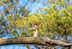 Rewolucjonistka Przewodził dzięcioła gmeranie dla jedzenia na Dębowym drzewie na Spr Zdjęcie Stock