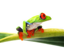Rewolucjonistka przyglądał się drzewnej żaby Agalychnis callidryas, (90) zdjęcia royalty free