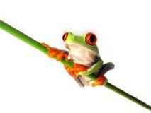 Rewolucjonistka przyglądał się drzewnej żaby Agalychnis callidryas, (96) Obrazy Stock