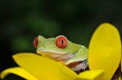 Rewolucjonistka przyglądająca się drzewna żaba Obraz Royalty Free