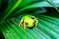 Rewolucjonistka Przyglądająca się Drzewna żaba - Costa Rica Obrazy Stock