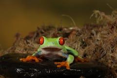 Rewolucjonistka Przyglądająca się Drzewna żaba - studio Schwytany wizerunek Fotografia Royalty Free