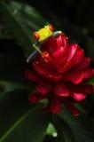 Rewolucjonistka Przyglądająca się Drzewna żaba w Costa Rica Fotografia Stock