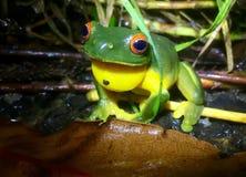 Rewolucjonistka Przyglądająca się Drzewna żaba w tropikalnym lesie deszczowym Zdjęcie Stock