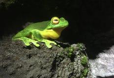Rewolucjonistka Przyglądająca się Drzewna żaba w tropikalnym lesie deszczowym Obrazy Royalty Free