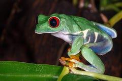 Rewolucjonistka przyglądający się drzewnej żaby obsiadanie na miotacz rośliny trzonie fotografia stock