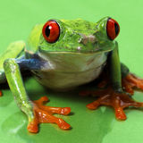 Rewolucjonistka przyglądający się treefrog makro- odosobniony Fotografia Royalty Free