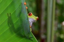 Rewolucjonistka przyglądał się zielonej drzewnej żaby, corcovado, costa rica