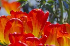 Rewolucjonistka różowy tulipan zdjęcie stock