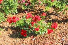 Rewolucjonistka, rewolucjonistki róża Zdjęcie Royalty Free