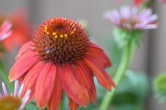 Rewolucjonistka rożka kwiat Zdjęcie Royalty Free