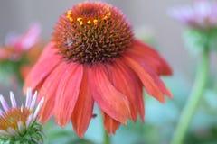 Rewolucjonistka rożka kwiat Zdjęcie Stock