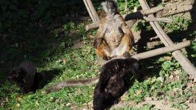 Rewolucjonistka ruffed lemura Varecia rubra odpoczynkowego i relaksuje w słońcu zdjęcie wideo