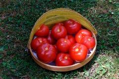 Rewolucjonistka, soczyści pomidory świeżo podnoszący od ogródu w koszu, obrazy royalty free