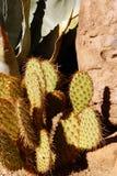 Rewolucjonistka spined kłującej bonkrety opuntia, agawę i innego kaktusa, Zdjęcie Royalty Free