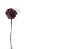 Rewolucjonistka suszący róży zakończenie up obraz royalty free
