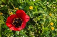 Rewolucjonistka tulipanu otwarty pączek Odg?rny widok obrazy stock