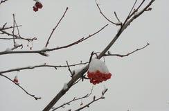 Rewolucjonistka, wiązki, rowan, zakrywający, zima, hoarfrost, tło drzewny, jaskrawy, śnieżny, biały, ashberry, zbliżenie, boże na obraz stock
