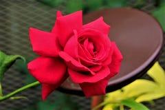 Rewolucjonistka wzrastał w kwiacie Zdjęcia Royalty Free