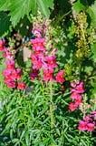 Rewolucjonistka z żółtym Antirrhinums, smoków kwiatami lub snapdragonsn, Zdjęcie Royalty Free