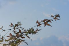 Rewolucjonistki ahorn Acer zielony japoński japonicum opuszcza liść z nieba tłem Fotografia Royalty Free