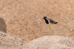rewolucjonistki czajki pozycja w brązu gorącym piasku i skała w Zjednoczone Emiraty Arabskie Vanellus indicus obraz royalty free