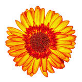 rewolucjonistki Gerbera kwiat Odizolowywający Obraz Royalty Free