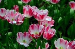 Rewolucjonistki i białych barwioni tulipany w morzu zieleń Fotografia Royalty Free