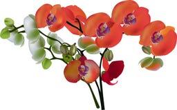 Rewolucjonistki i białych odosobneni orchidea kwiaty ilustracji