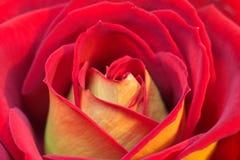 Rewolucjonistki i koloru żółtego róża Zdjęcia Royalty Free