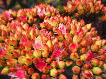 Rewolucjonistki i menchii kwiatu pączki Obraz Royalty Free