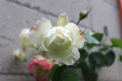Rewolucjonistki i menchii róża po deszczu z wodnymi kropelkami obrazy royalty free