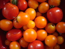 Rewolucjonistki i pomarańcze czereśniowego pomidoru wciąż ogrodowy życie Zdjęcie Stock