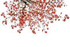 Rewolucjonistki i pomarańcze liście drzewni w jesieni odizolowywającej Obraz Stock