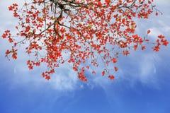 Rewolucjonistki i pomarańcze liście drzewni w jesieni z Zdjęcia Royalty Free
