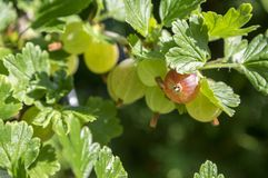 Rewolucjonistki i zieleni agrestów jagody dojrzewa na krzaka, zdrowych, surowych, kwaśnych i smakowitych owoc, Zdjęcia Stock