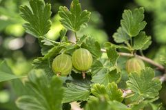 Rewolucjonistki i zieleni agrestów jagody dojrzewa na krzaka, zdrowych, surowych, kwaśnych i smakowitych owoc, Obrazy Stock