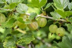 Rewolucjonistki i zieleni agrestów jagody dojrzewa na krzaku, zdrowym Zdjęcie Royalty Free