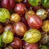 Rewolucjonistki i zieleni agresta owoc Naturalny tło Obraz Stock