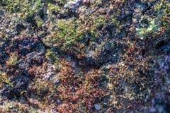 Rewolucjonistki i zieleni gałęzatka na skale przy kalim wyrzucać na brzeg Zdjęcie Stock