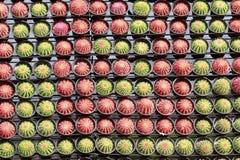 Rewolucjonistki i zieleni Kaktusowy garnek w ogródzie Obrazy Royalty Free