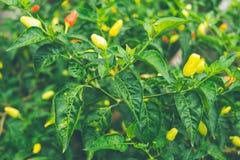 Rewolucjonistki i zieleni ptaka oka chili na ptasim oka chili drzewie, Tajlandzki pepp zdjęcie royalty free