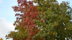 Rewolucjonistki i zieleni rowan możny drzewo w odmienianie jesieni pustkowiu zbiory wideo