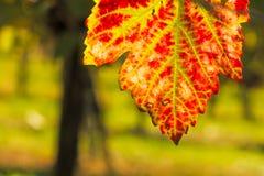 Rewolucjonistki i zieleni winograd leaf w jesieni kolorystyce zdjęcie royalty free