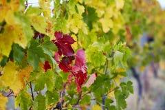 Rewolucjonistki i zieleni winograd leafs na spadku dniu Fotografia Stock