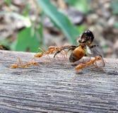 REWOLUCJONISTKI IMPORTOWAĆ POŻARNICZE mrówki NIOSĄ NIEŻYWEJ brus pszczoły Fotografia Stock