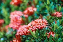 Rewolucjonistki ixora kolca kwiatu zieleni liścia deszczu różowa pomarańczowa kropla Zdjęcia Royalty Free