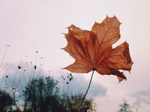 Rewolucjonistki jesieni liścia bielu suchy tło obraz royalty free