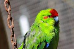 Rewolucjonistki Koronowany Parakeet Klatkowy Obraz Stock